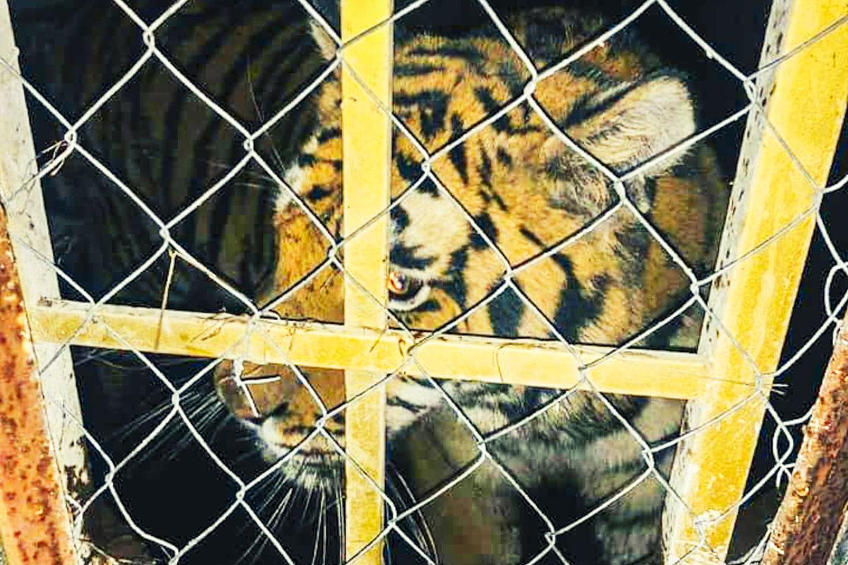 На острове Жуков тигров держали в ужасных условиях