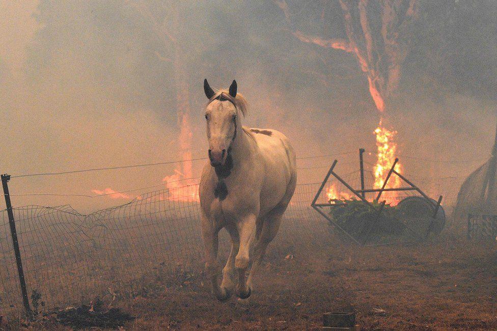 Лошадь пытается уйти от огня недалеко от города Новра. Фото BBC