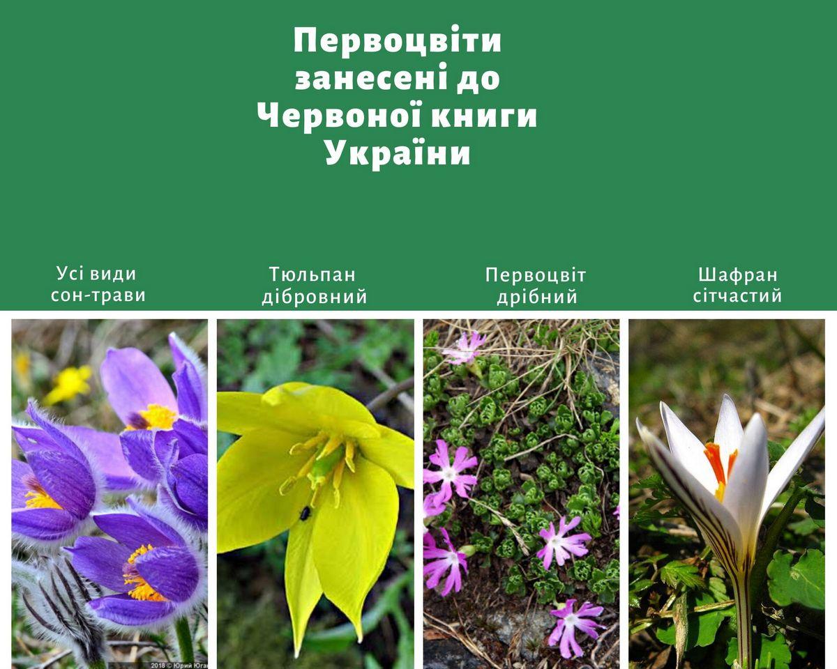 Первоцветы, которые находятся под охраной