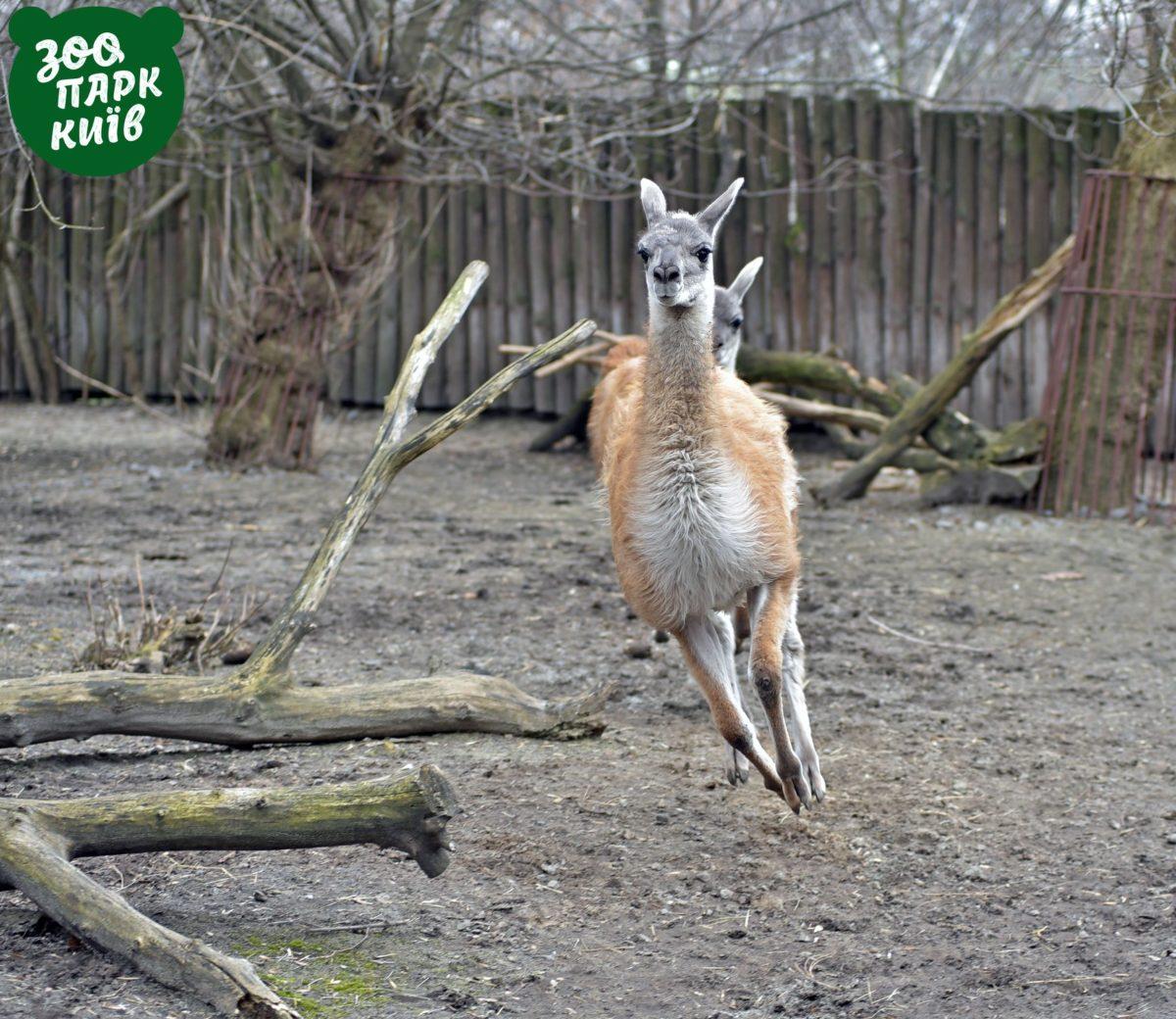Пара приехала в Киев из Ровненского зоопарка