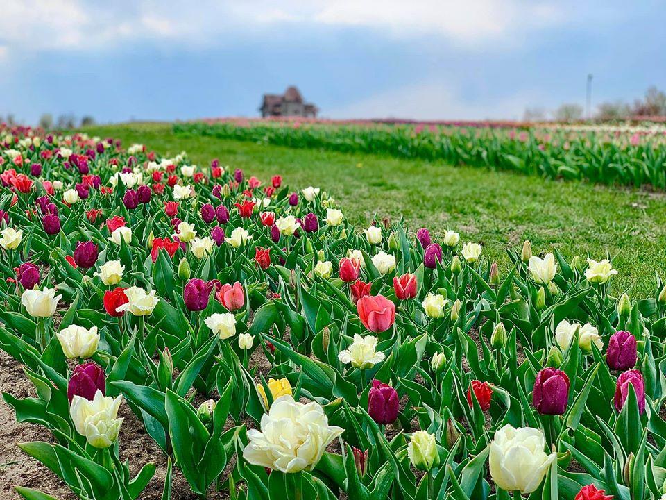 Тюльпаны высажены по стандарту, как голландские поля