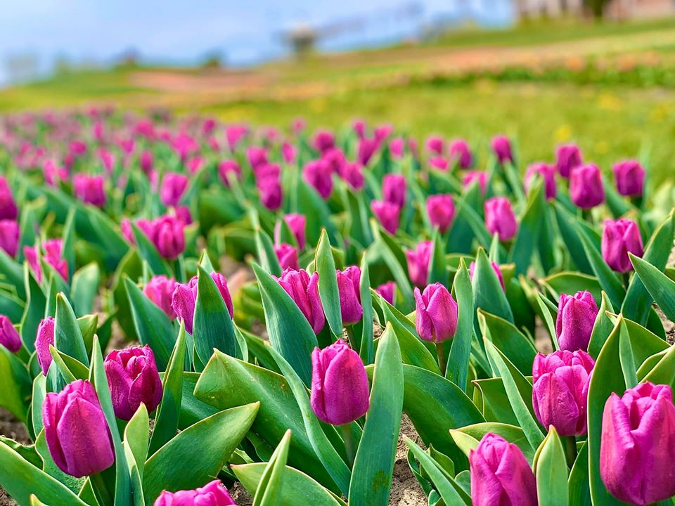 Сумма грядок на аллее тюльпанов - 8 километров