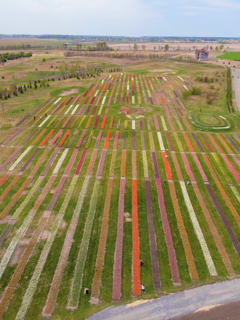 Тюльпаны высажены по стандарту Голландских полей