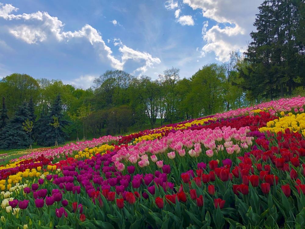 Весна наступає: на «Співочому полі» у Києві розквітли тисячі тюльпанів